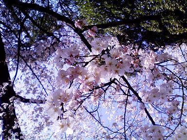 2010サクラ開花.JPG